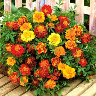 Marigold: French - seeds