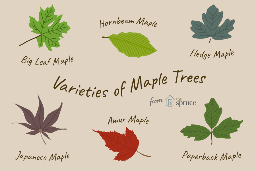 Which Maple Tree Do I Have? Maple Leaf Identification