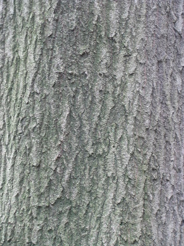 Pin oak tree bark