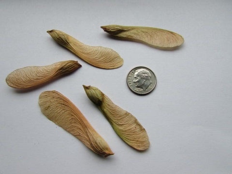 Silver maple tree seeds