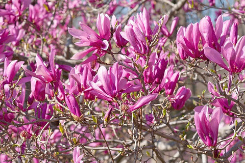 Magnolia for sale