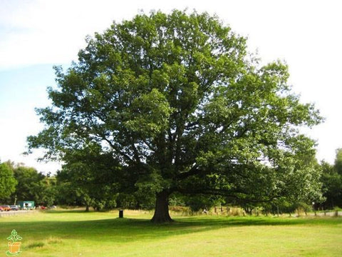 Northern red oak tree