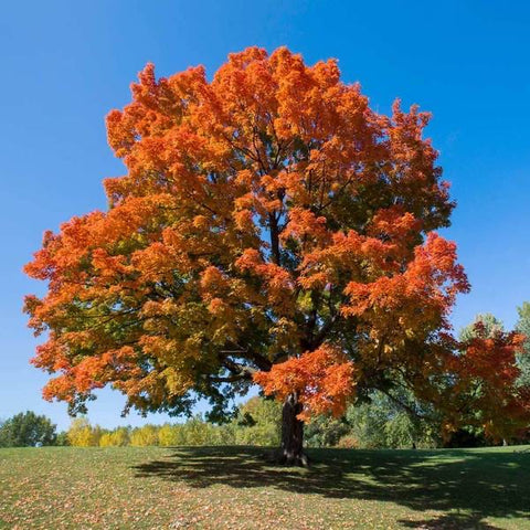 Native sugar maple tree for sale