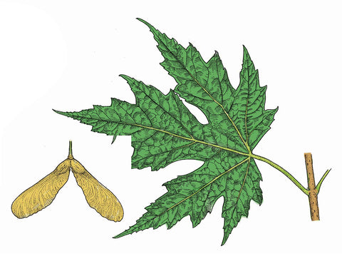 Silver maple tree leaf identification