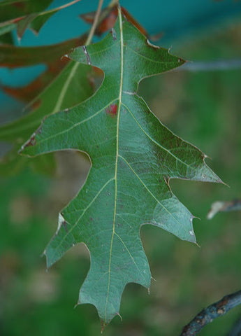 Pin oak leaf identification