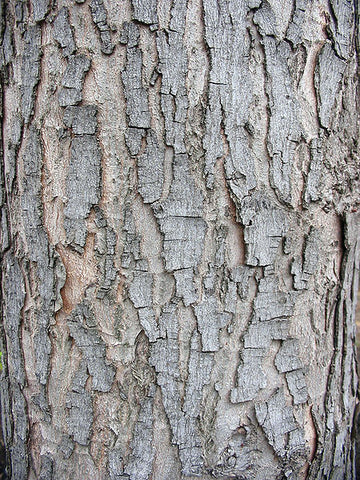 Silver maple tree bark