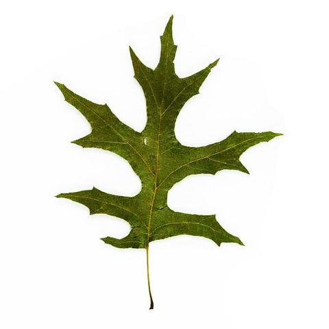 Pin oak tree leaf
