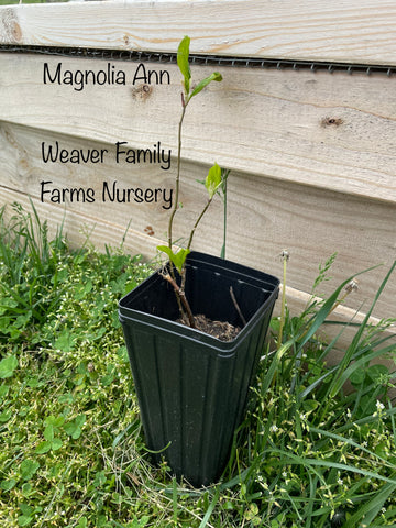 Magnolia tree seedling for sale weaver family farms nursery