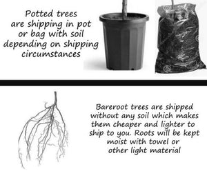 bareroot tree vs potted tree