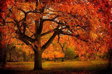 Load image into Gallery viewer, northern red oak tree