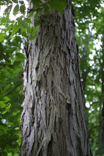 Load image into Gallery viewer, shellbark hickory tree for sale