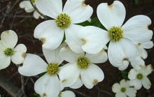 Load image into Gallery viewer, white dogwood flowers