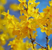 Load image into Gallery viewer, forsythia bush for sale