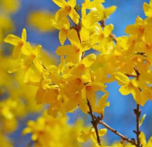 forsythia bush for sale