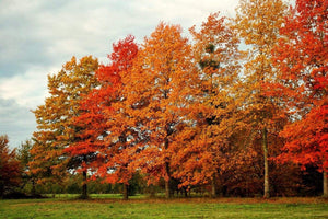 pin oak trees in fall