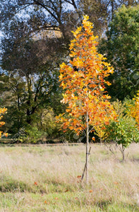 tulip poplar tree fall