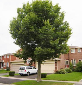 shade tree hackberry