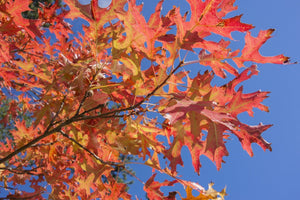 pin oak tree leaves