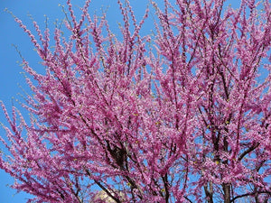 flowering tree for sale