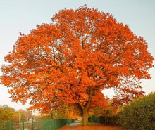 Load image into Gallery viewer, red oak tree for sale