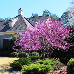 redbud tree for sale