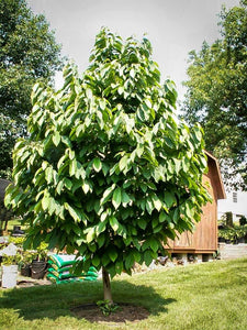 pawpaw trees for sale