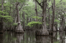 Load image into Gallery viewer, bald cypress in swamp