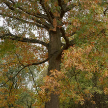 Load image into Gallery viewer, large pin oak tree