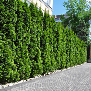 emerald green arborvitae hedge screen