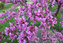 Load image into Gallery viewer, redbud flowering tree buy