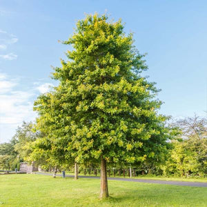 pin oak tree for sale