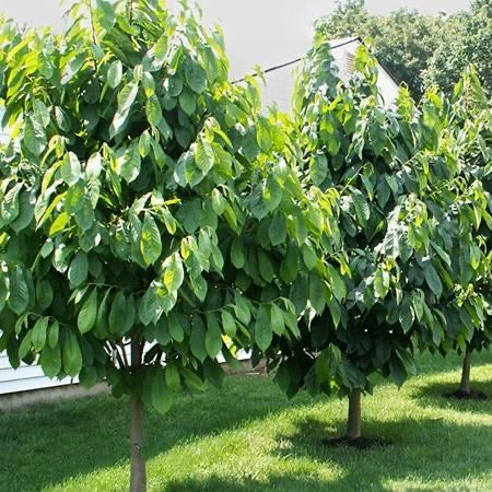 grown pawpaw tree