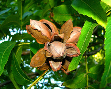 Load image into Gallery viewer, ripe pecans on tree