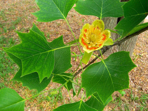 tulip poplar tree for sale