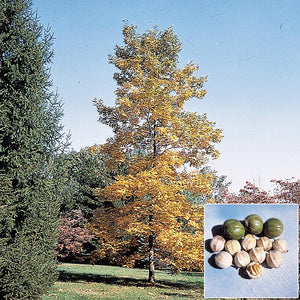 shell bark hickory tree for sale