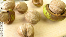 Load image into Gallery viewer, shell bark hickory tree nuts