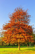 Load image into Gallery viewer, pin oak tree for sale