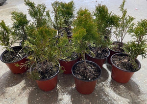 cheap emerald green arborvitaes
