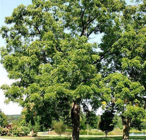 buy black walnut tree