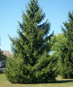 norway spruce privacy trees