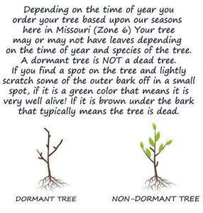 dormant tree vs active tree