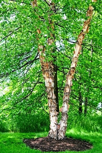 river birch for sale