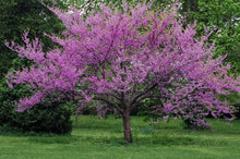 Load image into Gallery viewer, red bud trees