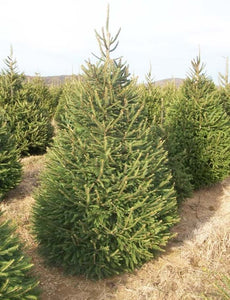 norway spruce for sale
