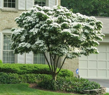 Load image into Gallery viewer, white dogwood tree