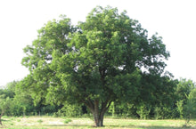 Load image into Gallery viewer, pecan tree for sale