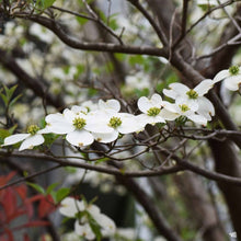Load image into Gallery viewer, dogwood for sale