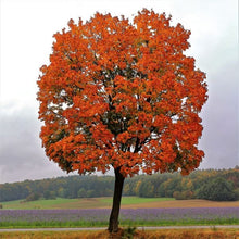 Load image into Gallery viewer, red maple tree