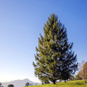 norway spruce tree for sale