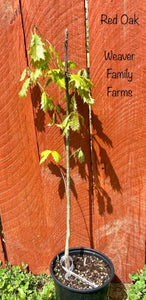 northern red oak tree for sale